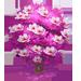 Albero di Magnolia Rosa
