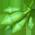 loroco sudamericano