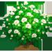 Cespuglio di Chiffon Ibisco Bianco